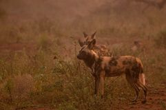 African wild dog (Lycaon pictus) Stock Photography