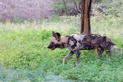 African wild dog, Lycaon pictus Royalty Free Stock Image