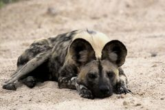 African Wild dog (Lycaon pictus). Lycaon pictus is a canid found only in Africa, especially in savannas and lightly wooded areas. It is variously called the Stock Image