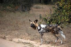 African wild dog, Lycaon pictus. Lycaon pictus is a canid found only in Africa, especially in savannas and lightly wooded areas. It is variously called the Stock Photos