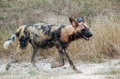 African wild dog, Lycaon pictus. Lycaon pictus is a canid found only in Africa, especially in savannas and lightly wooded areas. It is variously called the Royalty Free Stock Image