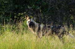 African wild dog, Lycaon pictus Stock Photo