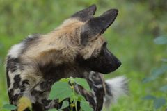 African wild dog, Lycaon pictus Royalty Free Stock Photography