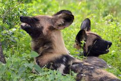African wild dog, Lycaon pictus Royalty Free Stock Images