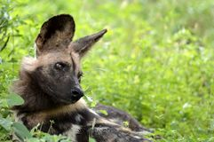 African wild dog, Lycaon pictus. Lycaon pictus is a canid found only in Africa, especially in savannas and lightly wooded areas. It is variously called the Royalty Free Stock Photography