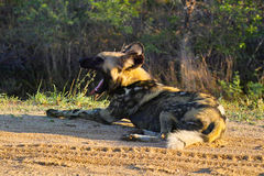 African wild dog (Lycaon pictus) royalty free stock photo