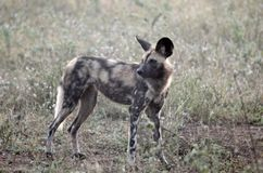 African wild dog (Lycaon pictus) Royalty Free Stock Photography