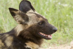 African wild dog (Lycaon pictus). In Kruger National Park Royalty Free Stock Photos