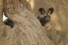 African Wild Dog (Lycaon pictus) looking at camera. Between tree and termite mound Stock Photography