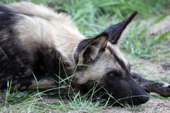 African Wild Dog (Lycaon pictus) is resting. Stock Photo