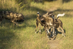 African Wild Dog (Lycaon pictus) South Africa. African Wild Dog group interacting in South Africa's Mala Mala Private Game Reserve Stock Photos