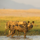 African Wild Dog (Lycaon pictus) standing in water. Looking at camera Stock Images