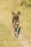 African Wild Dog ((Lycaon pictus) walking. African Wild Dog walking in South Africa's Mala Mala Private Game Reserve Royalty Free Stock Photos