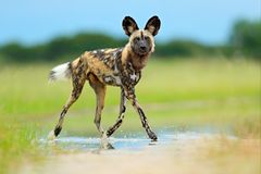 African wild dog, Lycaon pictus, walking in the water on the road. Hunting painted dog with big ears, beautiful wild anilm in hab. Itat. Wildlife nature, Moremi stock photography