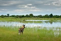 African wild dog, Lycaon pictus, walking in lake water. Hunting painted dog with big ears, beautiful wild anilm in habitat. Wildli. African wild dog, Lycaon stock photos