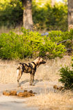 African wild dog in Moremi Game Reserve Royalty Free Stock Photography