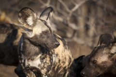 African Wild Dog. In the morning light Stock Photo