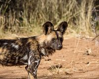 African Wild Dog 1 Royalty Free Stock Photo
