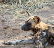 African Wild Dog 3 Royalty Free Stock Photography