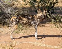 African Wild Dog 5 Royalty Free Stock Photography