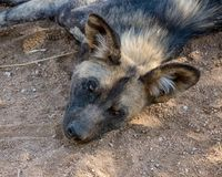 African Wild Dog 8 Royalty Free Stock Image