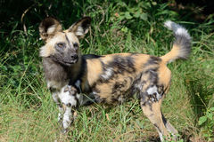 African Wild Dog at Okavango Delta Royalty Free Stock Photo