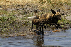 African Wild Dog Pack in Action Stock Images