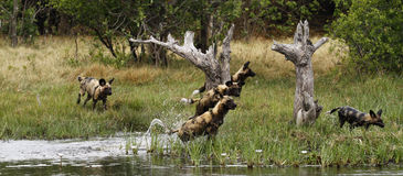 African Wild Dog Pack in Action. African wild dog puppies trying to cross water on the plains Stock Photography
