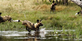 African Wild Dog Pack in Action Royalty Free Stock Photography