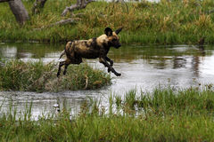 African Wild Dog Pack in Action Stock Photo