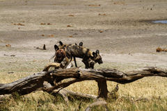 African Wild Dog Pack. Blood covered African wild dogs, after a kill on the plains Stock Images