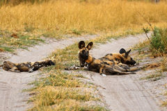 African Wild Dog Pack. Blood covered African wild dogs, after a kill on the plains Royalty Free Stock Photos