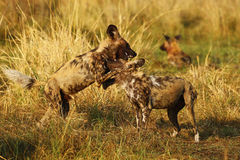 African Wild Dog Pack Royalty Free Stock Images