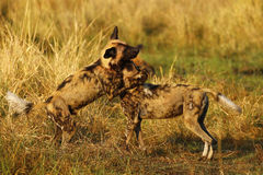 African Wild Dog Pack. Blood covered African wild dogs, after a kill on the plains socializing and playing Stock Images