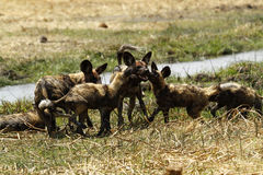 African Wild Dog Pack Royalty Free Stock Photography
