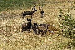 African Wild Dog Pack. African wild dogs, socialising on the plains Stock Images