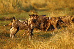 African Wild Dog Pack Feeding Stock Images