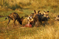 African Wild Dog Pack Feeding on an Impala kill Stock Photos
