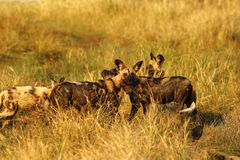 African Wild Dog Pack Feeding on an Impala kill Stock Images