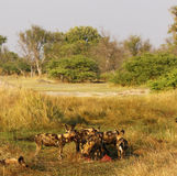 African Wild Dog Pack Feeding on an Impala kill Royalty Free Stock Images