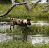 African Wild Dog Pack In Action Royalty Free Stock Photos