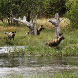 African Wild Dog Pack In Action Royalty Free Stock Image