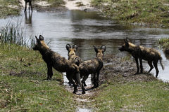 African Wild Dog Pack Royalty Free Stock Photos
