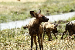 African Wild Dog Pack Stock Photography