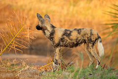 African wild dog. Or painted hunting dog (Lycaon pictus), Sabie-Sand nature reserve, South Africa Royalty Free Stock Photography