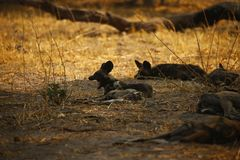 African wild dog or Painted Wolf as its sometimes known royalty free stock photography