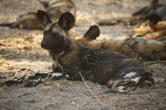 African wild dog or Painted Wolf as its sometimes known royalty free stock images