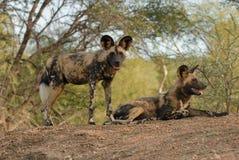 African Wild Dog pair Stock Photo