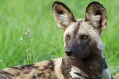 African Wild Dog portrait stock photography