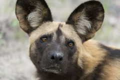 African Wild Dog portrait. A portrait picture of an African wild dog, they look quite cute, but looks are deceiving Royalty Free Stock Photography